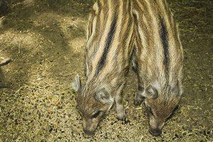 Frischlinfe im Projensdorfer Gehölz, hier sieht man auf der Entdeckertour viele Tiere